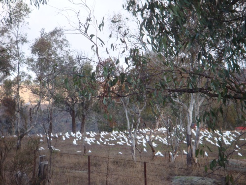 club of cockatoos copy